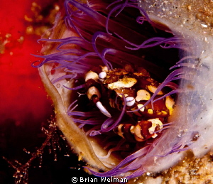 Harlequin Crab in Tube Anenome by Brian Welman 